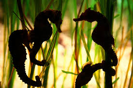 Live seahorse food, sustainable aquarium with seahorse