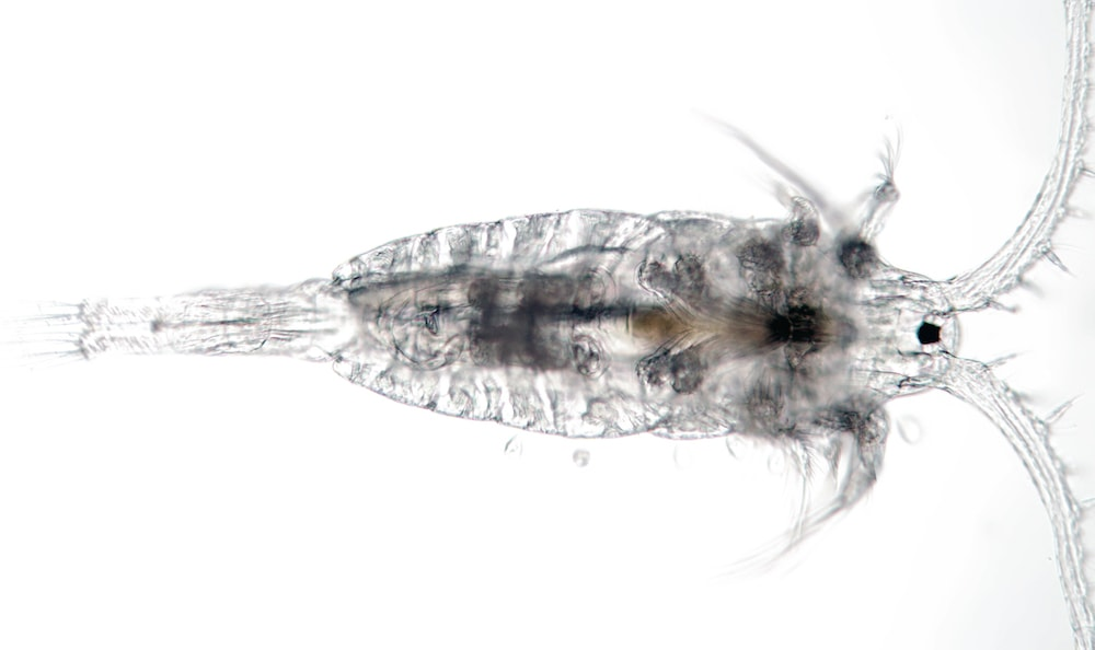 copepod on a plane