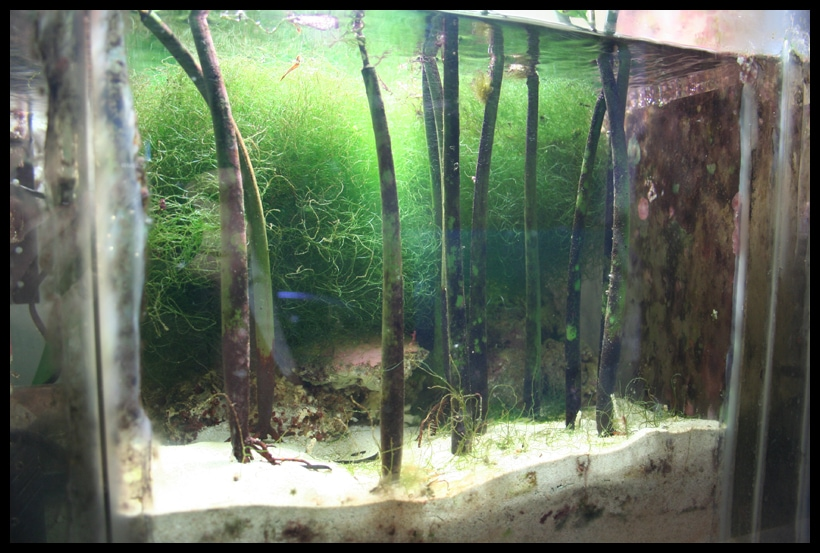 Mangroves in refugium