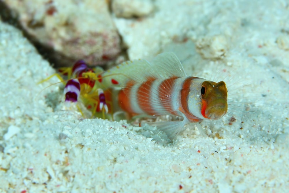 Pistol shrimp and Goby Pair