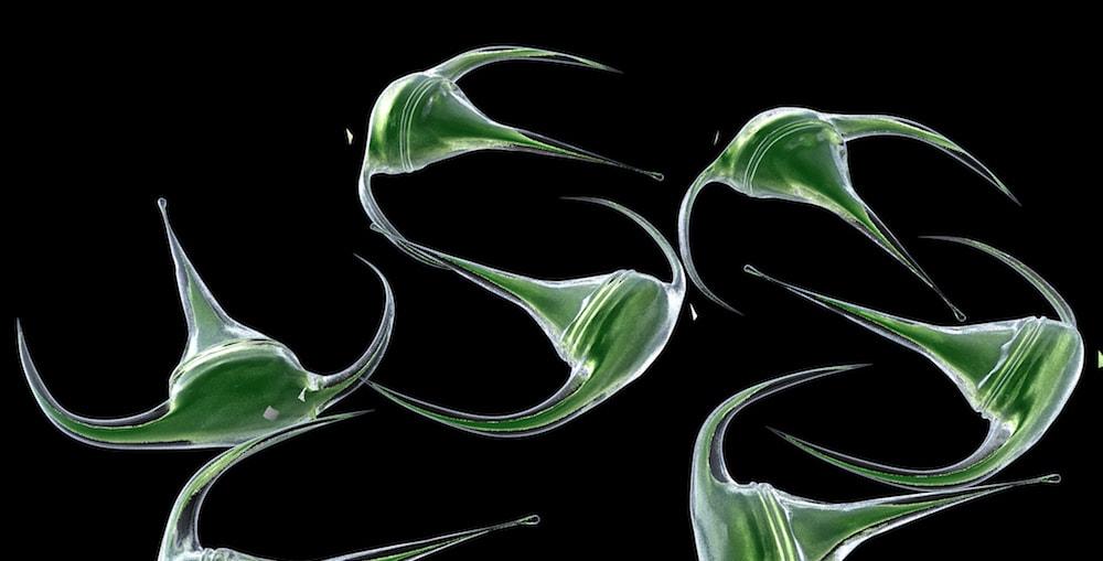 Dinoflagellate ceratium longpipe