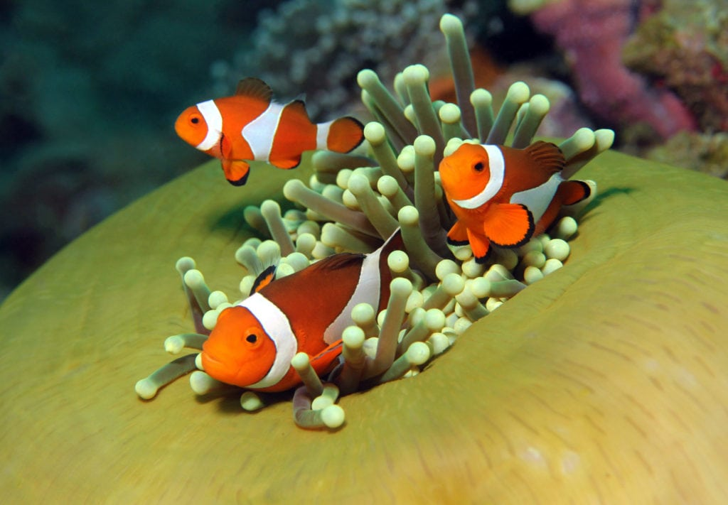 Clownfish hosting an Anemone