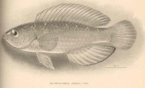 cirrhilabrus