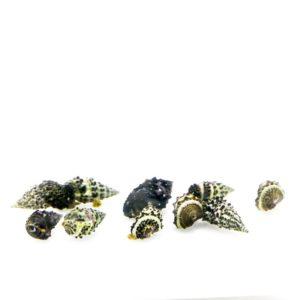 ORA Cerith Snail