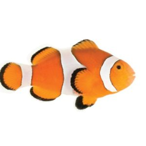 ORA Ocellaris Clownfish at AlgaeBarn