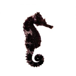 photo of a black lined seahorse hippocampus erectus captive bred by ORA on a white background