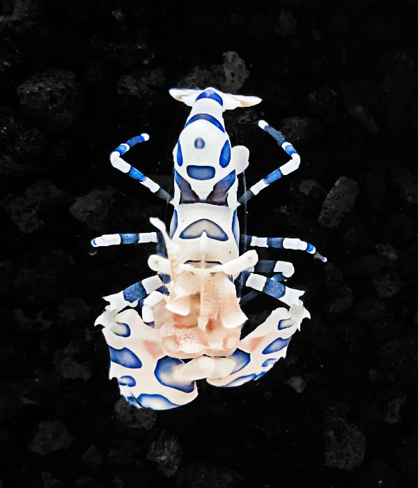 A photo of a Captive Bred Harlequin Shrimp Hymenocera elegans by aquatic technology on a black background for sale at AlgaeBarn
