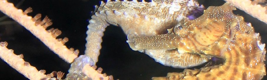 Bizarre and Beautiful: The Lined Seahorse (Hippocampus erectus)