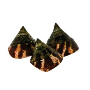 a photo of three banded trochus snail captive bred by oceans reefs and aquariums ORA™