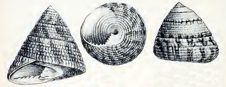 The intricately patterned trochus snail