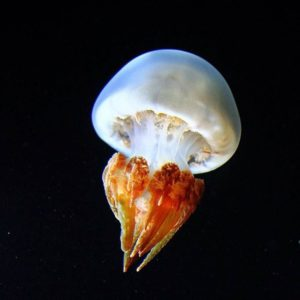 Photo of a Flame Jellyfish Rhopilema esculentum showing the red on its tentacle on a black background