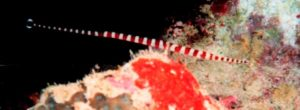 a red banded pipefish