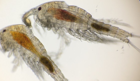 Tig Copepods Swimming