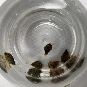 Nassarius Snails from a top view. 5 Snails in a Jar
