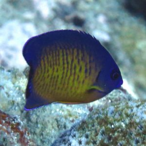 Captive bred Coral Beauty Angelfish