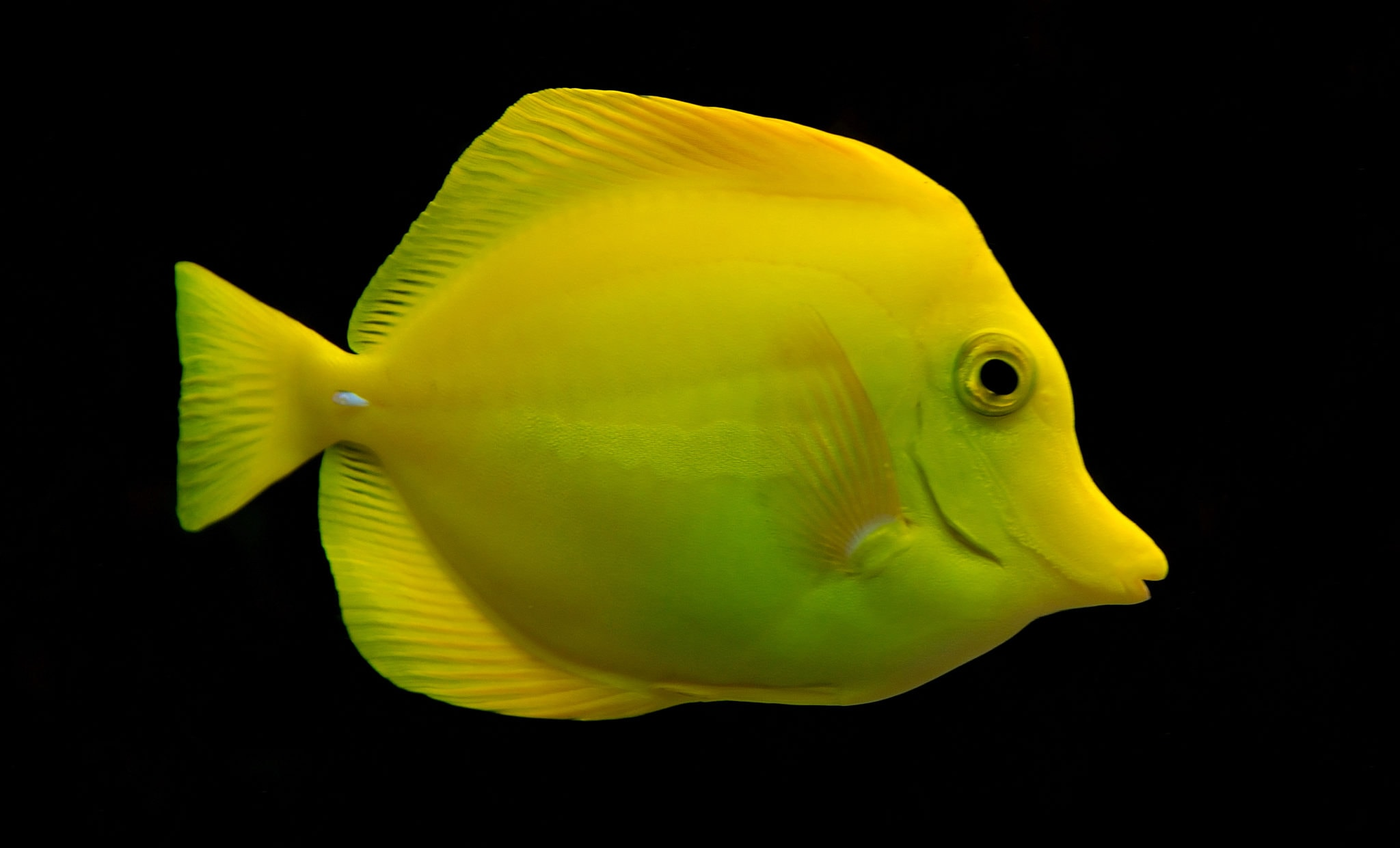 Yellow Tang - Biota | Live Copepods and Phytoplankton ...