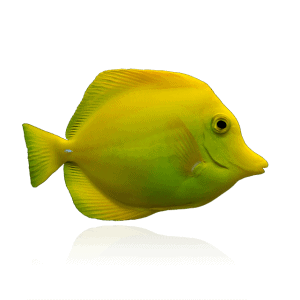 Captive Bred Yellow Tangs by BIOTA