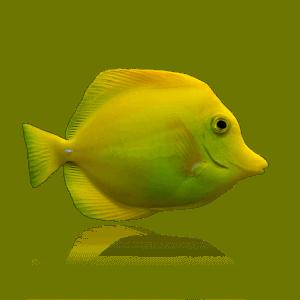 Captive Bred Yellow Tangs by BIOTA