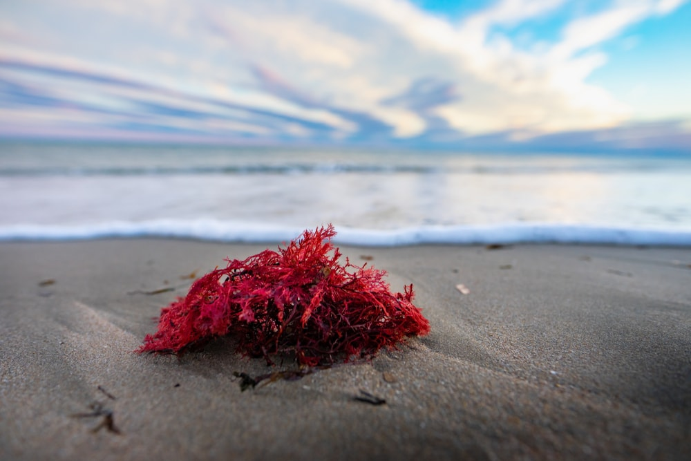 Red macroalgae Washed up on the shore.