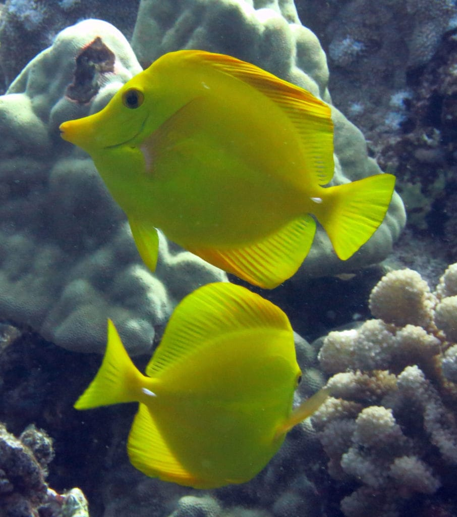 Captive Bred Yellow Tangs