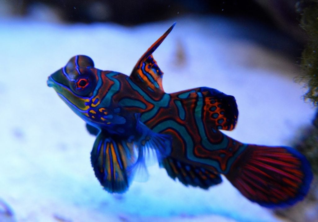 A Male Blue Mandarinfish