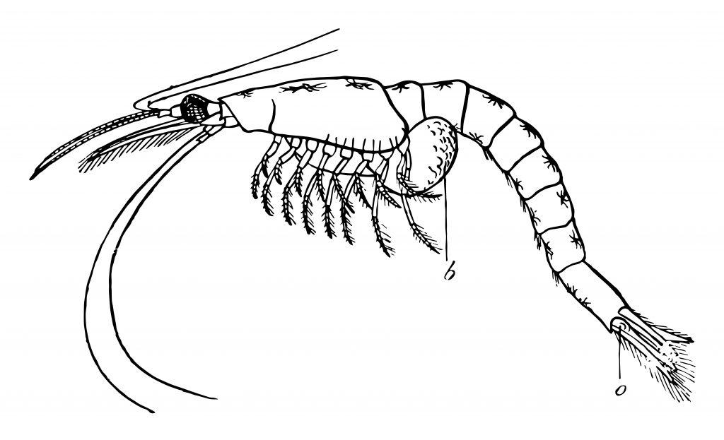 an illustration of mysis