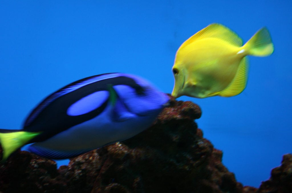 A Yellow and Blue Tang in a Marine Aquarium