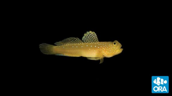 Blue Phase Watchman Goby