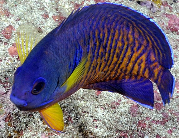A Coral Beauty Angelfish