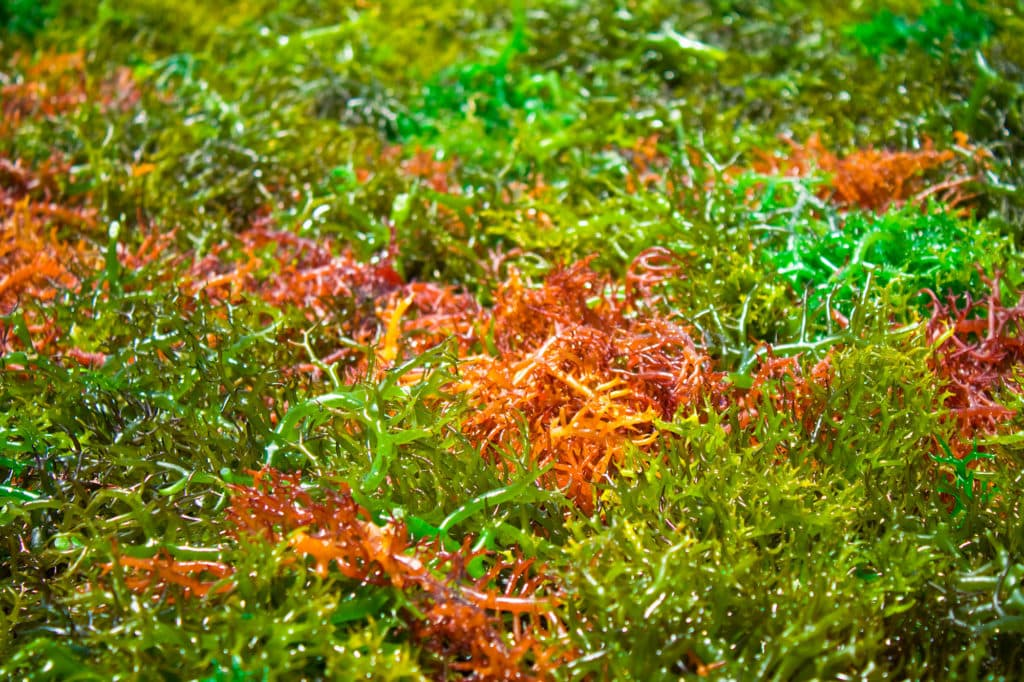 A bed of different colored Macroalgaes