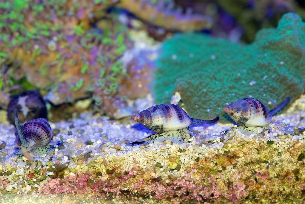 Tongan Nassarius are great detritus eaters!