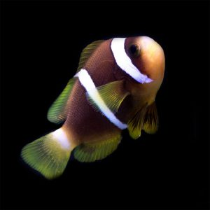 The Blue Stripe Clownfish