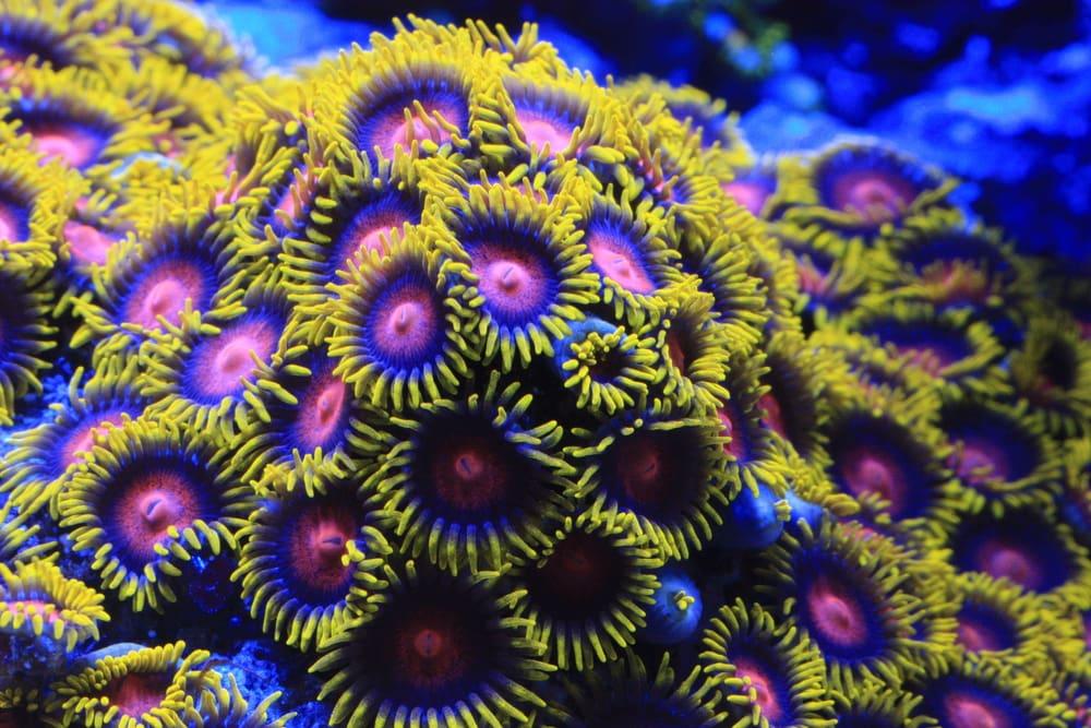 some zoa corals