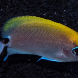 A tiny but Beautiful Swallowtail Angelfish