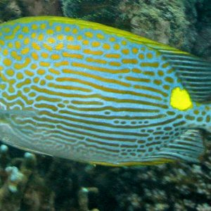 Incredible Goldline Rabbitfish