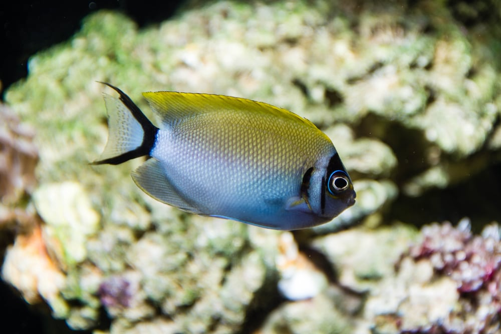 The incredible Captive bred Swallowtail Angelfish.