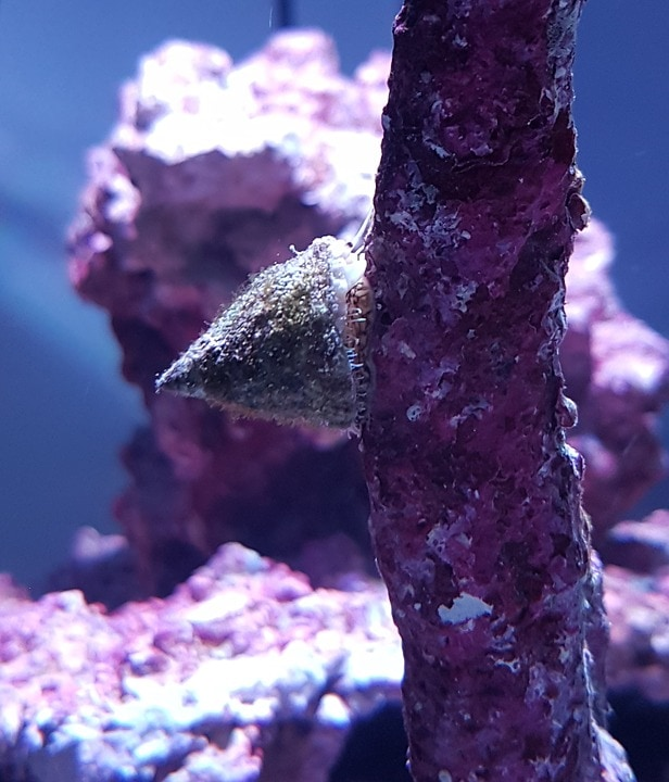 A Marine Snail cleaning an Aquarium