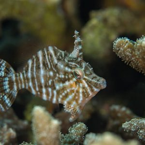 Captive Bred Radial Filefish