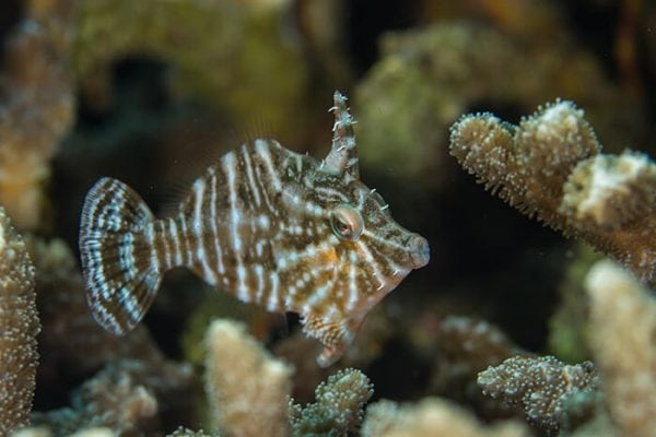 Captive Bred Radial Filefish