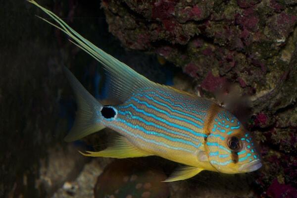 Blue Lined Sea Bream - Captive Bred