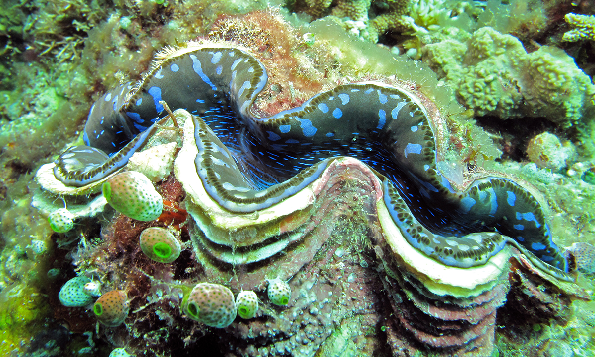 Giant clam in the wild - Maxima Clam