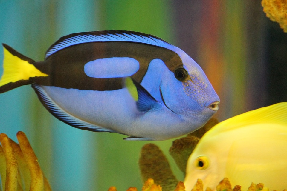 Captive Bred Tangs are less at risk of getting diseases