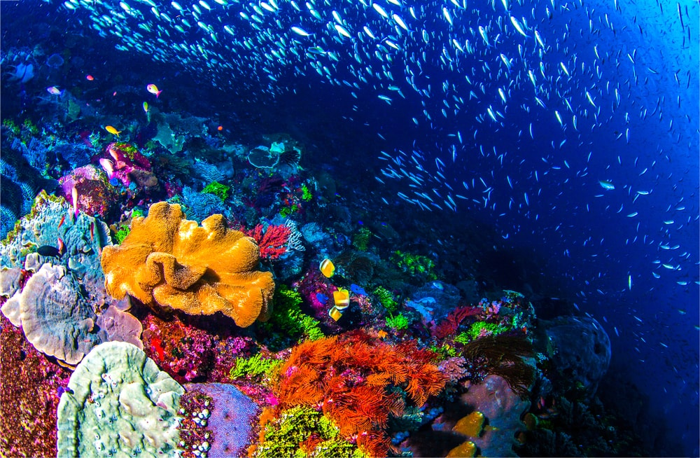A beautiful wild coral reef full of reef safe fish!