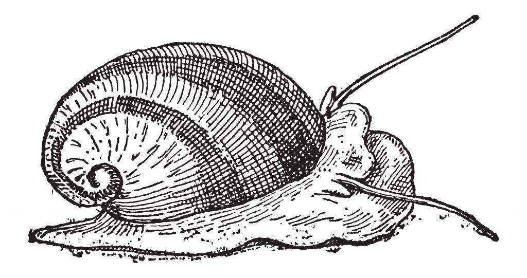 Saltwater Nerite Snail Illustration