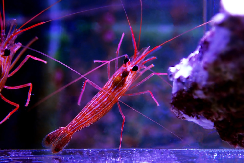 An adult Peppermint Shrimp