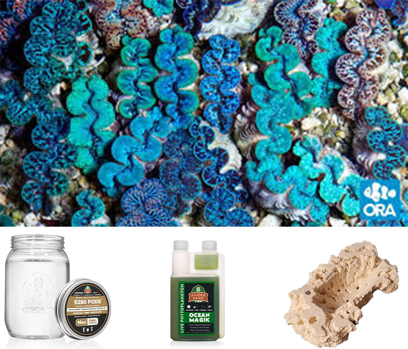 An Example of our Blue Maxima Clam Keeper Kit