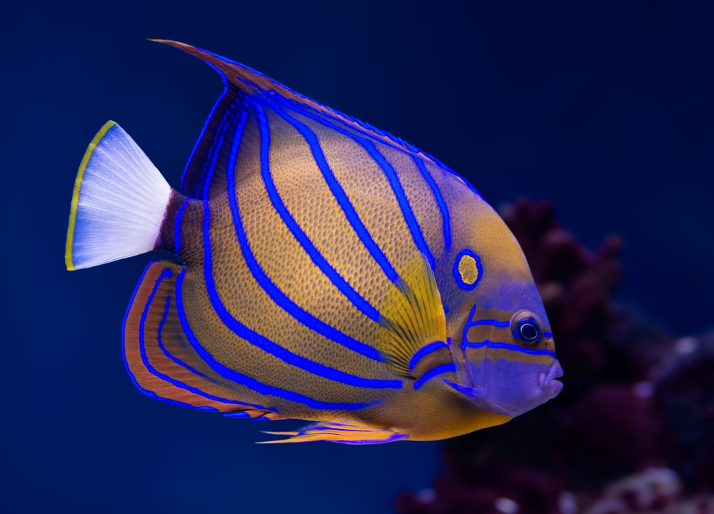 A beautiful fish for saltwater aquariums