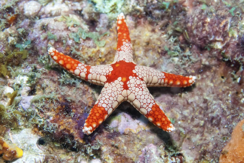 Beautiful Starfish species are a benefit to any reef Aquarium!