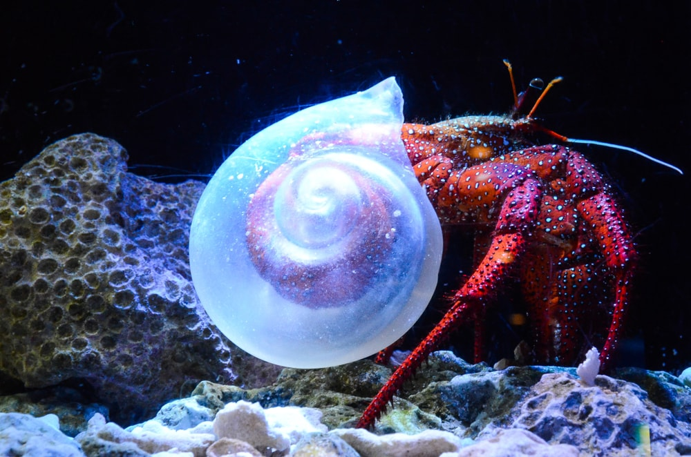 A very unique shell for a hermit crab!