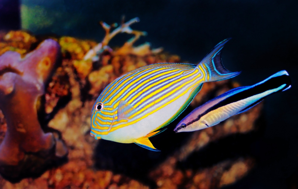 A tang being cleaned by a hawaiian cleaner wrasse